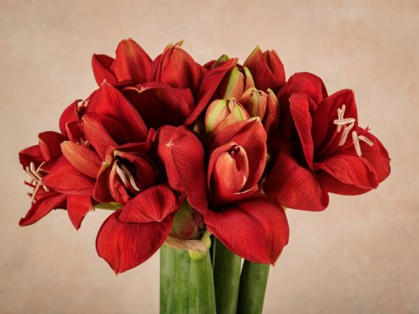 Bouquet Amleto, Amaryllis rossi e neri