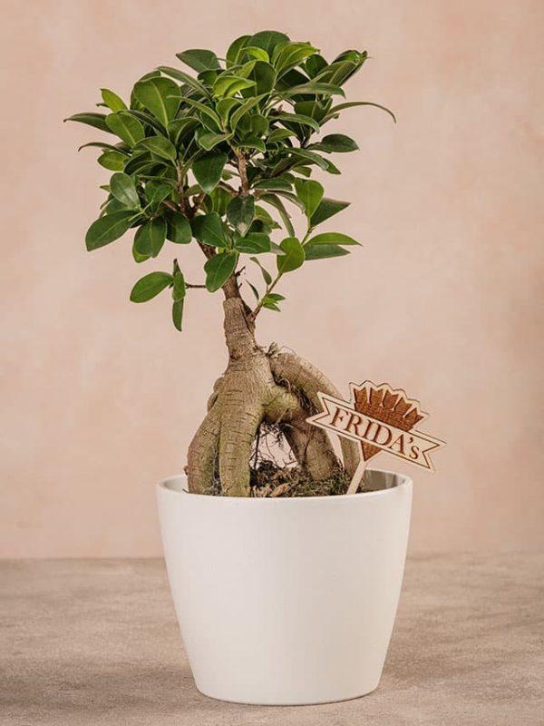 News da Frida's - Piante da interno Ficus Ginseng
