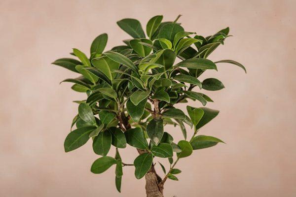 Piante da interno - Ficus Ginseng dettagli foglie